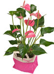 Mothers Day Anthuriums - Free UK delivery