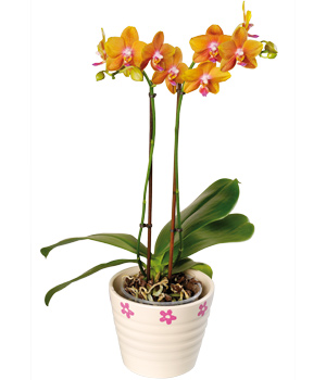 Orchid Flower Picture on Phalaenopsis Orchid  Pphap      25 99   Flowers By Post