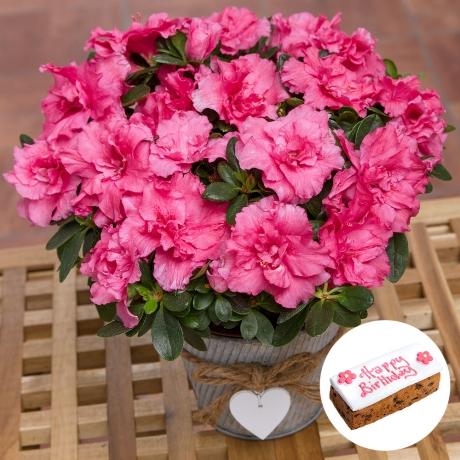 PRODUCT PLANTS Birthday Azalea Gift image
