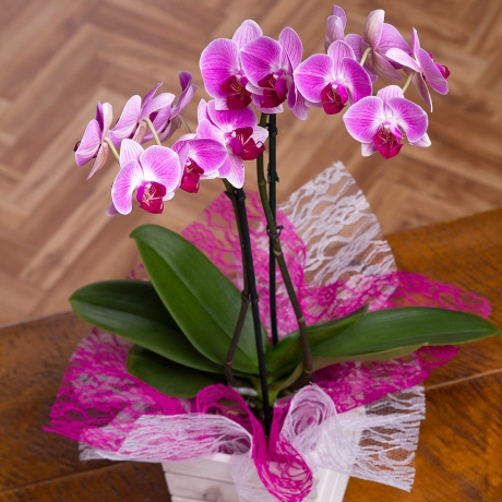 PRODUCT PLANTS Orchid in Mini Crate image