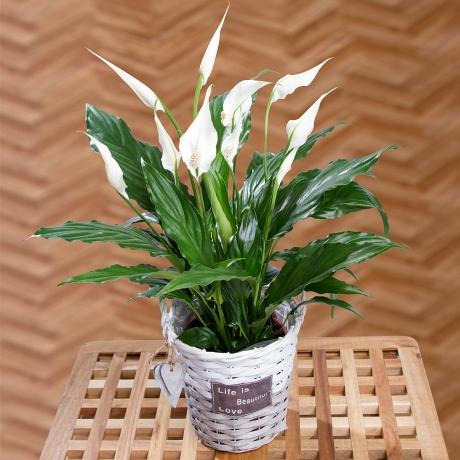 PRODUCT PLANTS Peace Lily Plant image