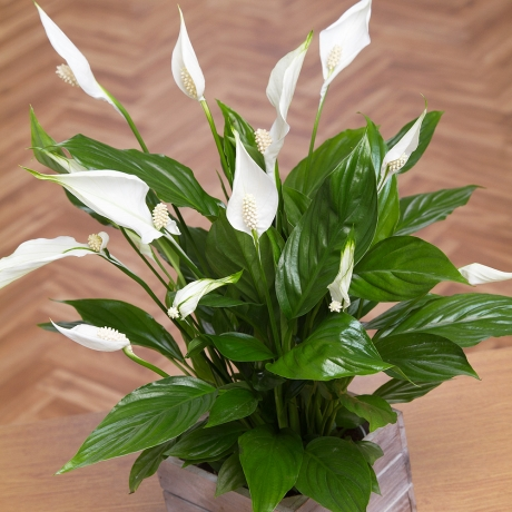 PRODUCT PLANTS Peace Lily in Mini Crate image