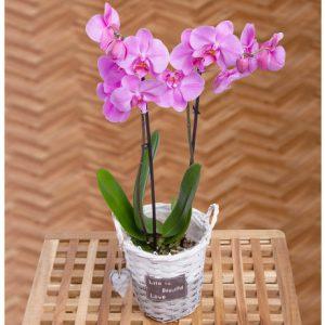 PRODUCT_PLANTS_Phalaenopsis_Orchid_image1_460x460.jpg