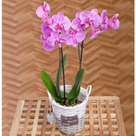 PRODUCT PLANTS Phalaenopsis Orchid image