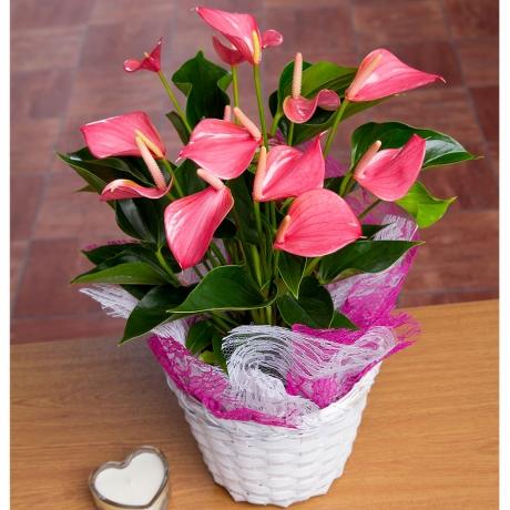 PRODUCT PLANTS Pink Anthurium Plant image