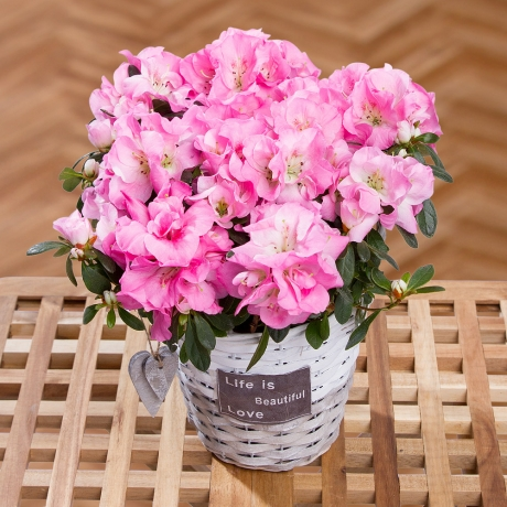 PRODUCT PLANTS Pink Azalea in Basket image