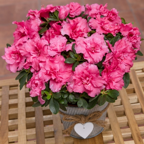 PRODUCT PLANTS Pink Azalea in Heart Pot image