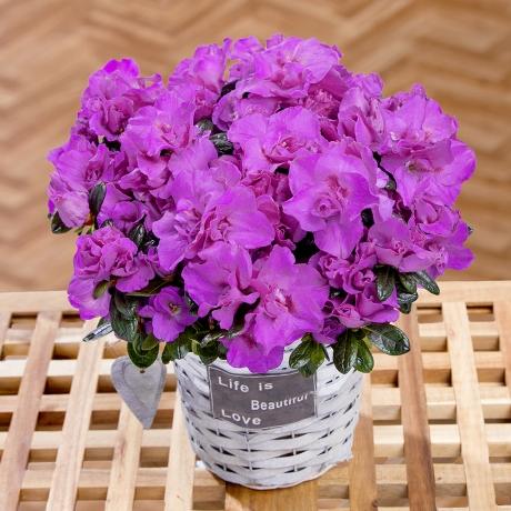 PRODUCT PLANTS Purple Azalea in Basket image