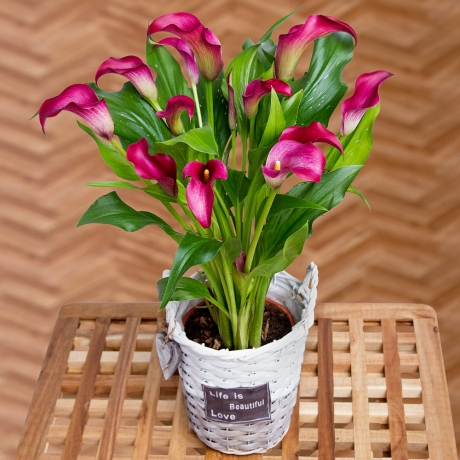 PRODUCT PLANTS Calla Lily in Basket image