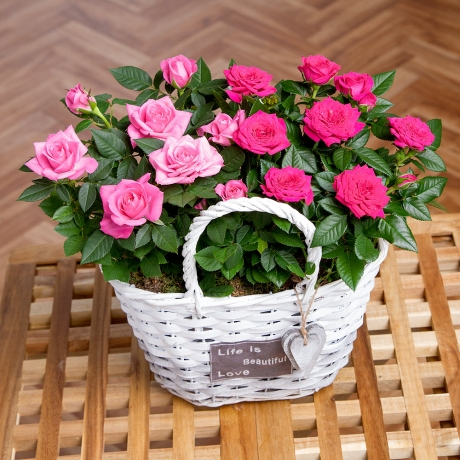 PRODUCT PLANTS Rose Duo Basket image