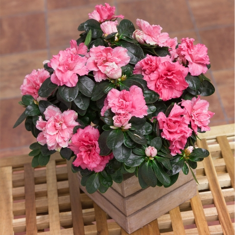 PRODUCT PLANTS Azalea Plant in crate image