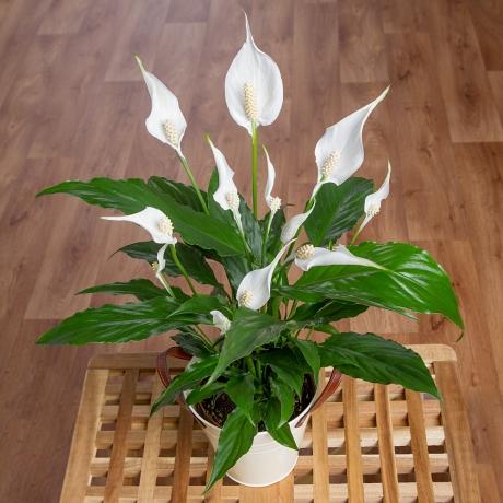 PRODUCT PLANTS Peace Lily in Zinc Pot image