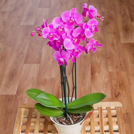 PRODUCT PLANTS Phalaenopsis Orchid in Zinc Pot image