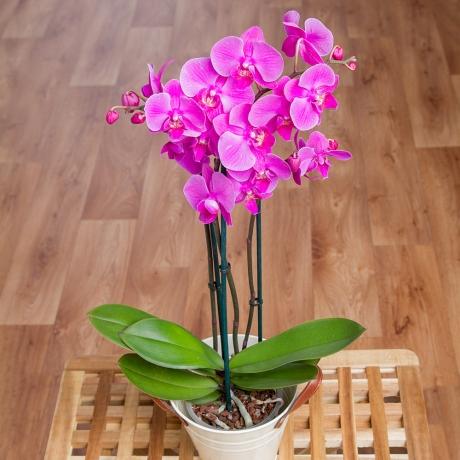 PRODUCT PLANTS Phalaenopsis Orchid in Zinc Pot image