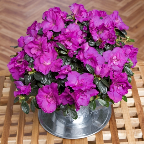 PRODUCT PLANTS Purple Azalea in Teacup image