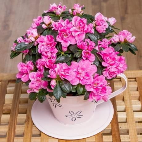 PRODUCT PLANTS Pink Azalea in Teacup image