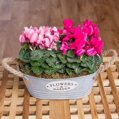 PRODUCT PLANTS Pink Cyclamen Planter image