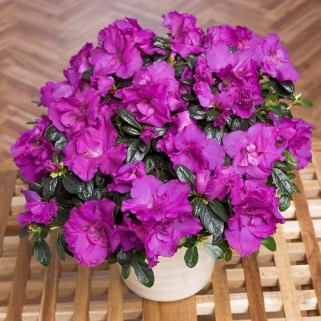 PRODUCT PLANTS Purple Azalea in Zinc Pot image