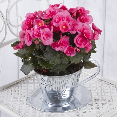 PRODUCT PLANTS Begonia in Zinc Teacup image