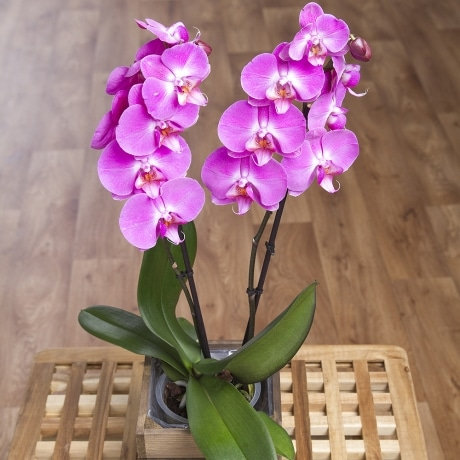 PRODUCT PLANTS Phalaenopsis Orchid in Crate image