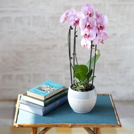 PRODUCT PLANTS Cascade Phalaenopsis Orchid image