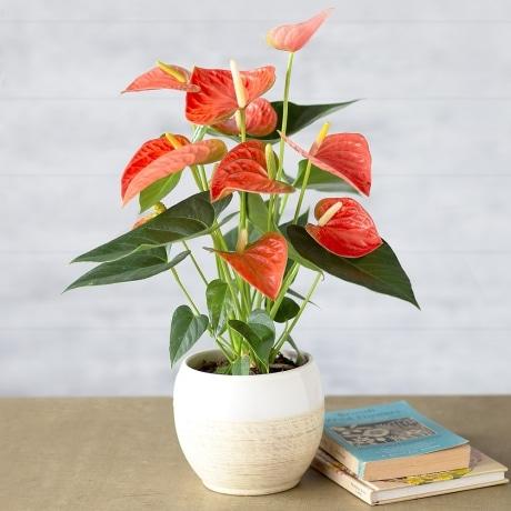 PRODUCT PLANTS Coral Anthurium image