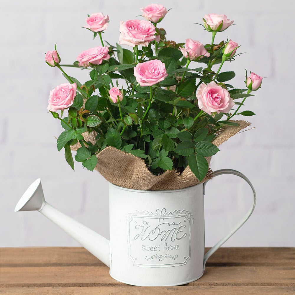 PRODUCT PLANTS Rose Plant in Watering Can image