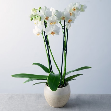 PRODUCT_PLANTS_White_Phalaenopsis_Orchid_image1_460x460.jpg