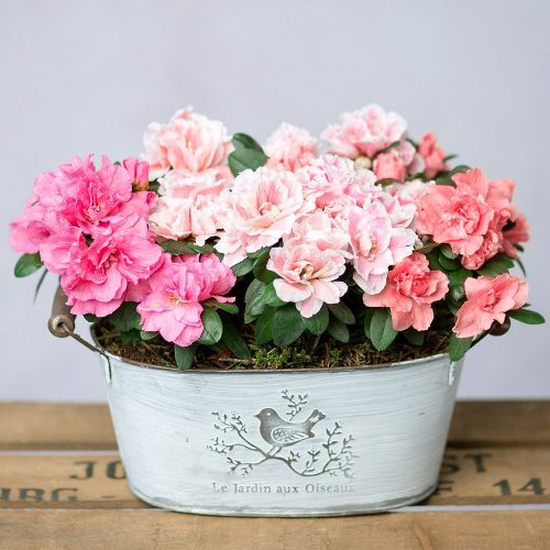 PRODUCT PLANTS Azalea Trio image