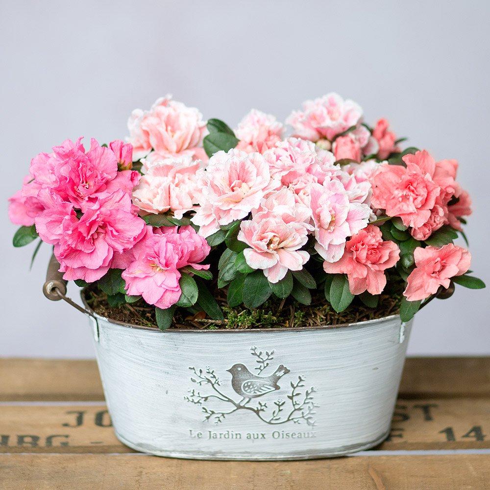PRODUCT PLANTS Azalea Trio image