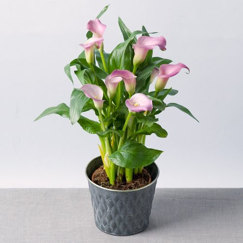 PRODUCT_PLANTS_Calla_Lily_Plant_image1_460x460.jpg