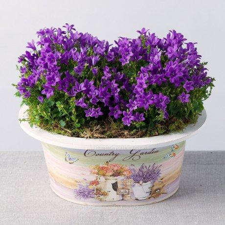 PRODUCT PLANTS Campanula Planter image