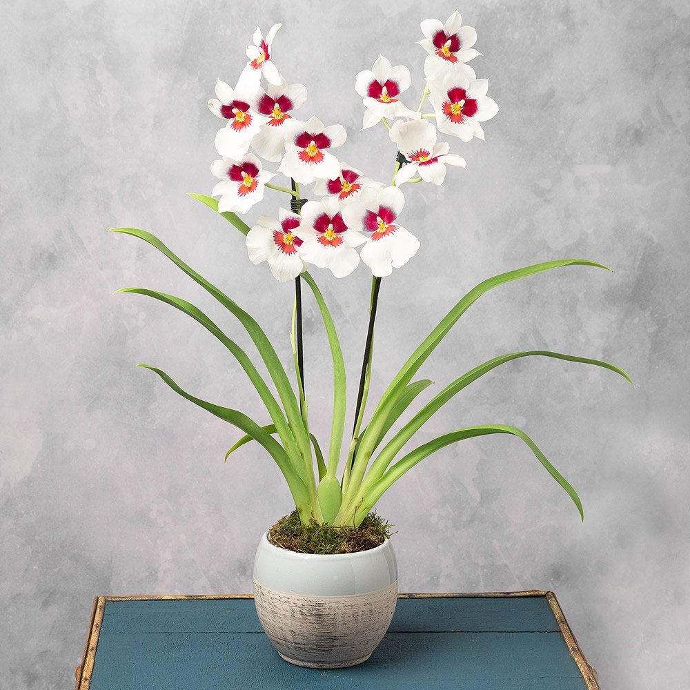 PRODUCT PLANTS Miltonia Orchid in Ceramic Pot image