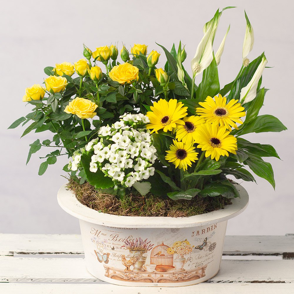 PRODUCT PLANTS Sunshine Planter image