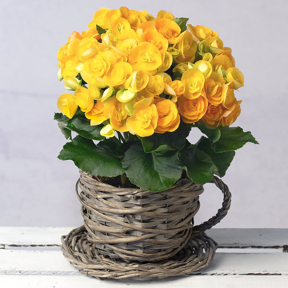 PRODUCT PLANTS Yellow Begonia in Wicker Teacup image