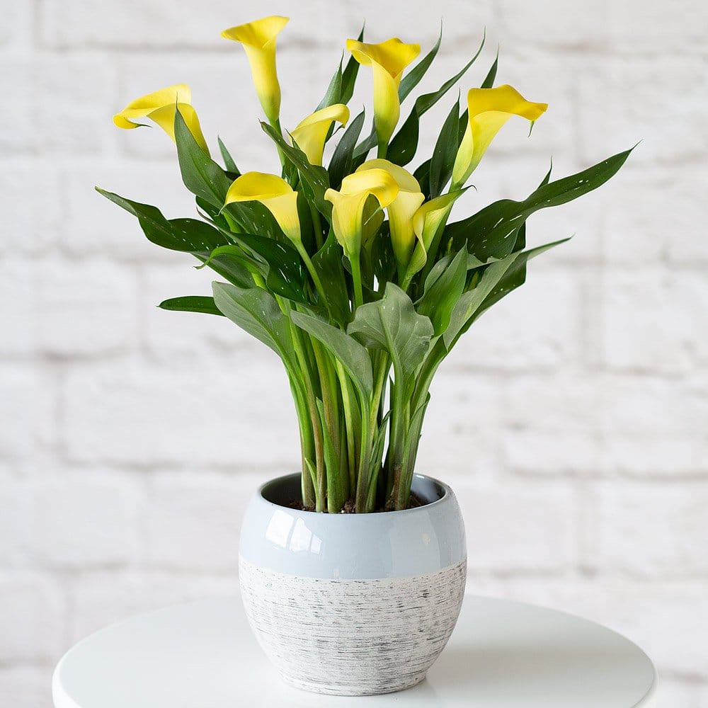 PRODUCT PLANTS Yellow Calla Lily Plant image