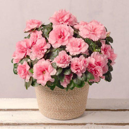 Pink Azalea in Jute Pot 1