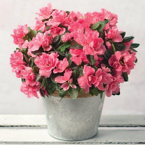 Pink Azalea with Zinc Pot 1