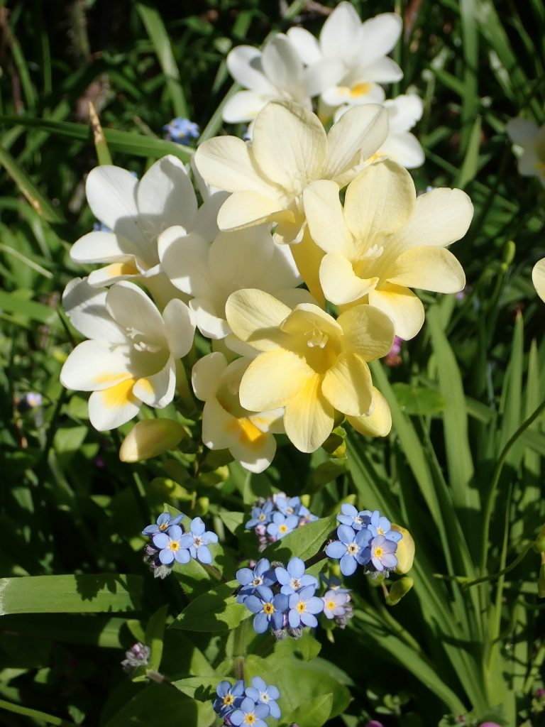 Grow Freesias in yoru garden