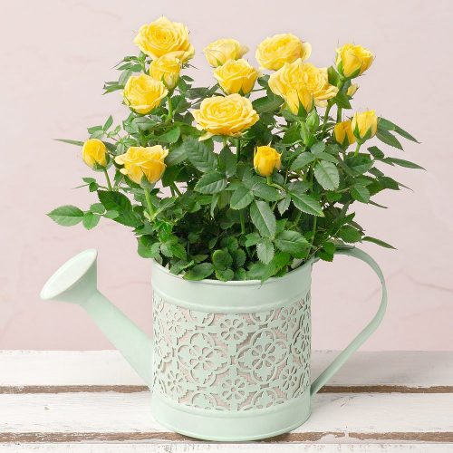 Yellow Rose in Watering Can 1